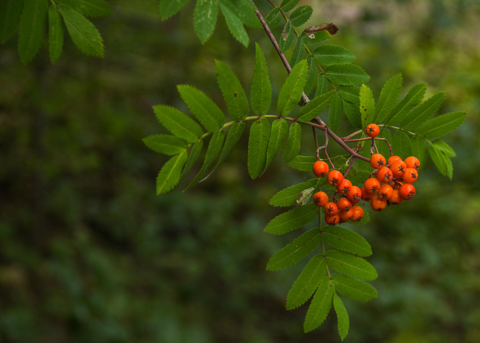 Rowan berries-2