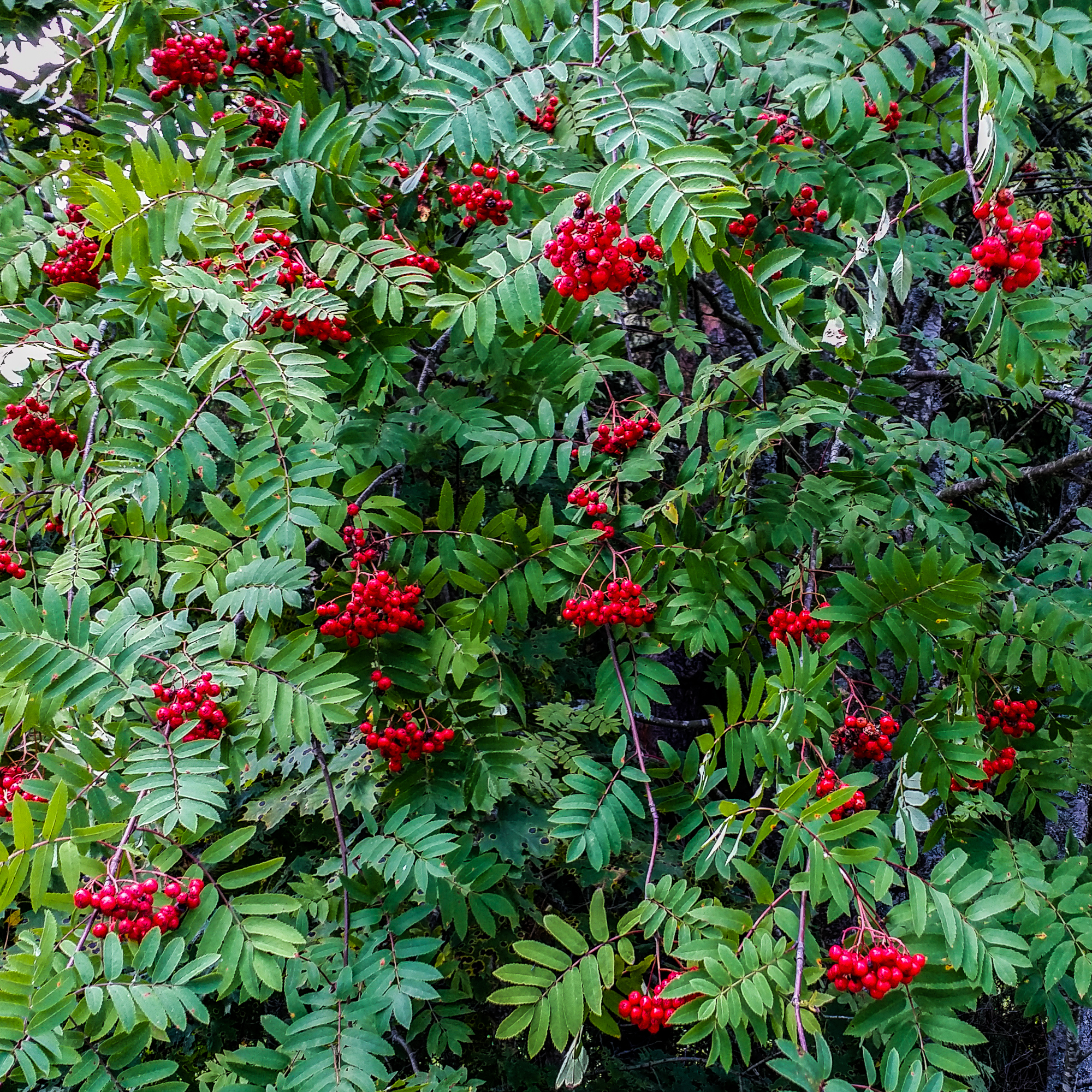 Rowan berries-1